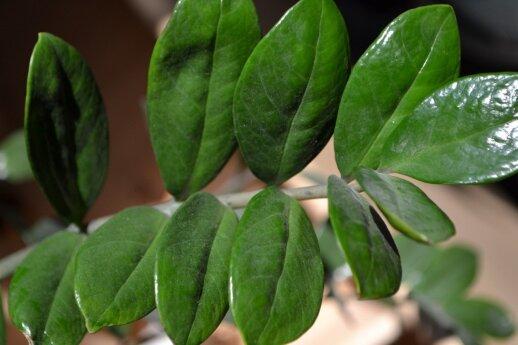 Kito pinigų medžio zamijalapio zamiokulko lapai nepanašūs į monetas, bet yra žali ir blizgantys.