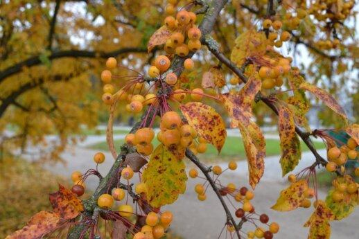 Ziboldo obels obuoliukai labiau primena uogas, o ne obuolius.