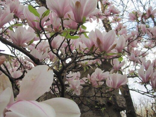 Sulanžo magnolijos - vieni iš gražiausiai žydinčių medžių.