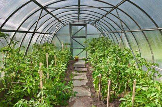 Šiltnamyje naudojant mokslininkų sukurtas lempas būtų galima pagerinti derliaus kokybę