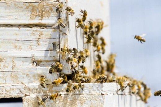 Bičių žūtis vis dar gaubia paslaptis