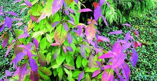 ES imasi veiksmų prieš invazinių rūšių augalus