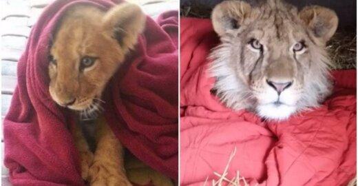 Liūtas miega su antklode