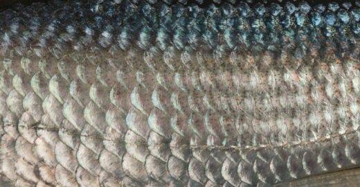 Ar galite pažinti žuvį tik iš žvynų?
