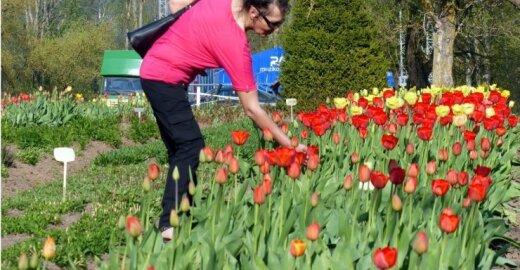 Burbiškio dvare - 180 tūkst. tulpių žydėjimo šventė