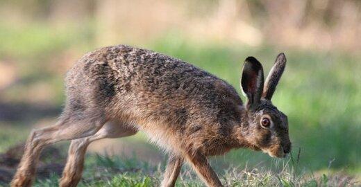 Medžiotojai nemano, kad kiškių medžioklės draudimas pagausintų jų populiaciją