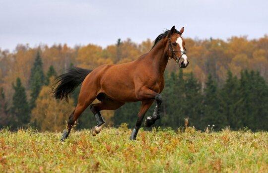 Žirgai