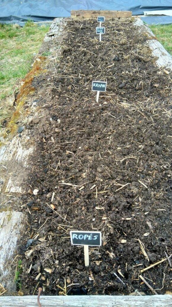 Pirma lauko lysvė: svogūnai, krapai, ropės – šitos kultūros auga žemėje, todėl nenušąla.