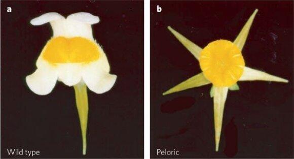 Genetiškai identiškos paprastosios linažolės žiedų variantai
