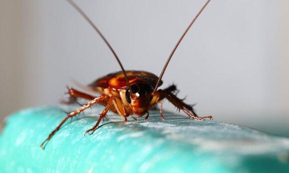 Kaip gali pakenkti tarakonai ir kaip juos saugiai išnaikinti