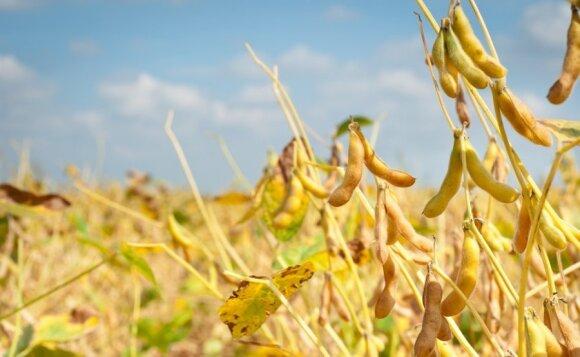 Populiaraus padažo gamybai naudojamą augalą vartoti reikėtų itin atsargiai