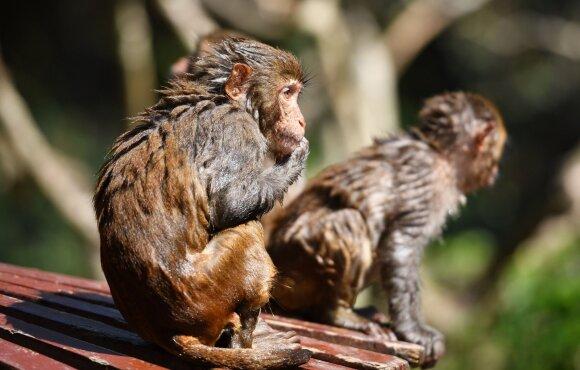 Vyras Kinijoje užsikrėtė Monkey B virusu ir nuo jo mirė.