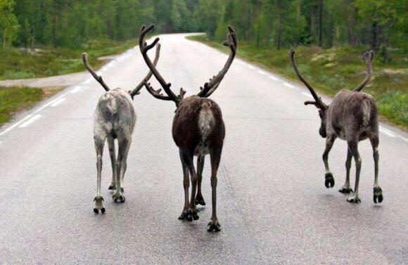 Gyvūnai kelyje