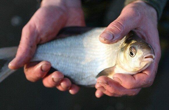 Karšių žvejyba