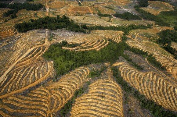 Palmių plantacija