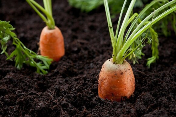 Atkreipę dėmesį į šiuos augalus galėsite spėti orus ne prasčiau nei sinoptikai