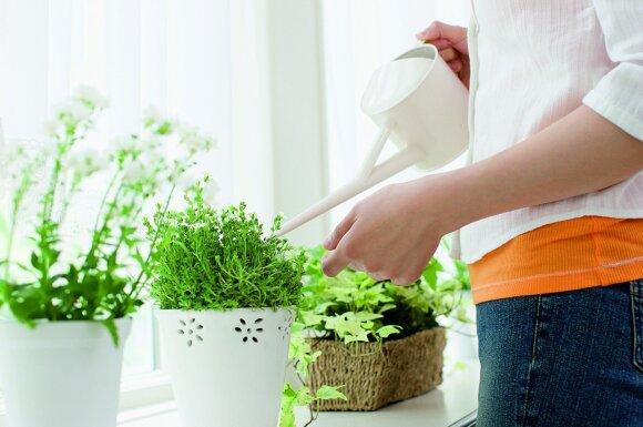Amžina kambarinių gėlių augintojų dilema: laistyti po mažiau ir dažniau ar rečiau, bet gausiau?