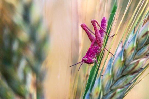 Rožinis vabzdys