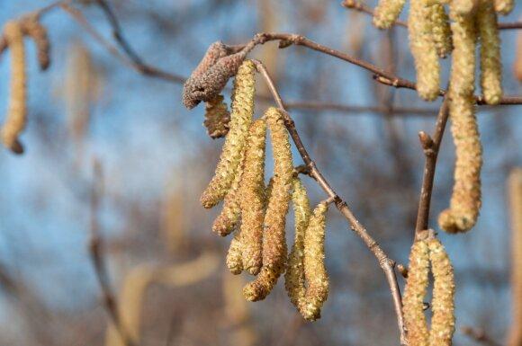 Laukiama pavasarinių žiedų: kada pražys pirmieji?