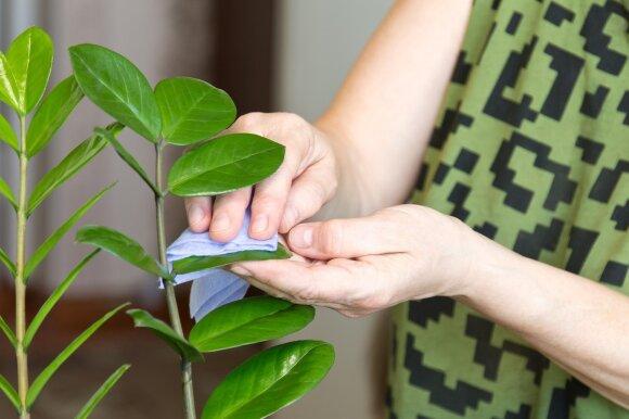 Pinigų medis: svarbiausios priežiūros taisyklės