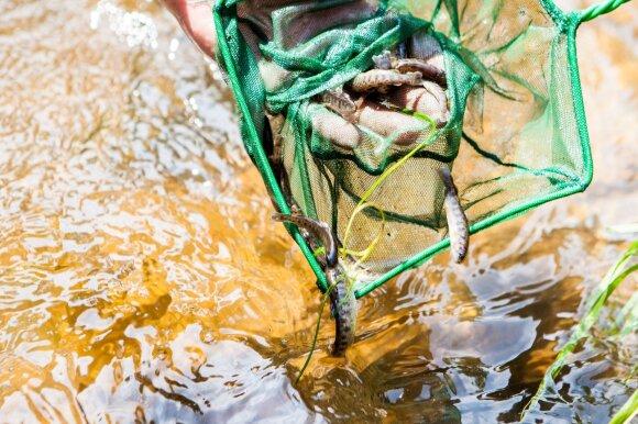 Lašišos ir šlakių jaunikliai išleidžiami į Vilnelės upę