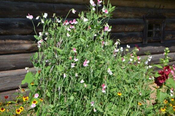 Kvapieji pelėžirniai, liaudiškai dar vadinami žirneliais - vijokliniai ir kvepiantys augalai.