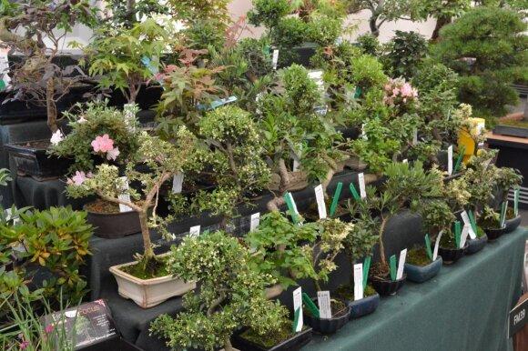 Bonsai medelių galima įsigyti sodo prekių ir gėlių parduotuvėse ar augalų mugėse.
