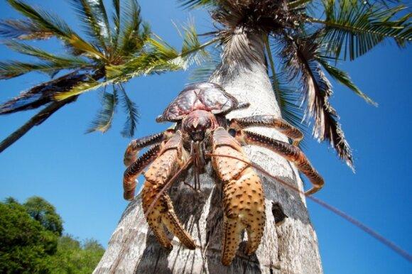 Kokosinis krabas