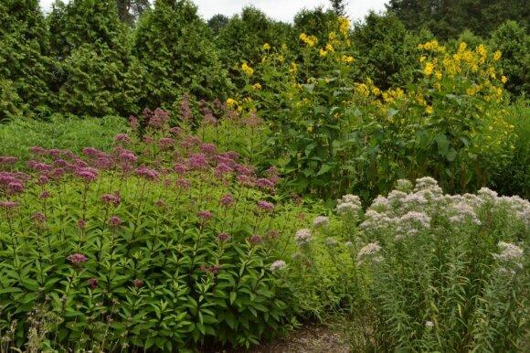 Gėlynai VU Botanikos sodo Vingio skyriuje rugpjūtį.