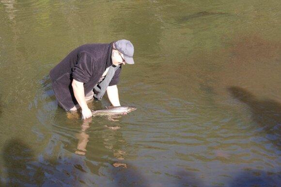 Po operacijos žuvis paleidžiama atgal į vandens telkinį