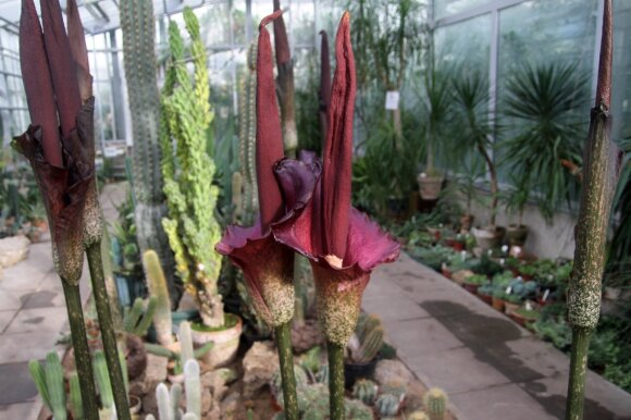 Botanikos sode pražydo egzotiškoji lavongėlė