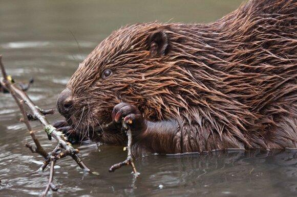 Medžius nuo bebrų apsaugoti padeda mišinis, pagamintas iš molio ir šunų išmatų