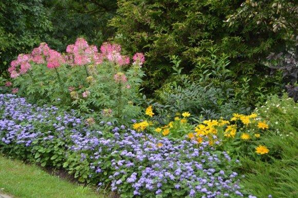 Gėlyno apvadas iš mėlynai žydinčių žydrūnių, rožine spalva žydi kleomės.