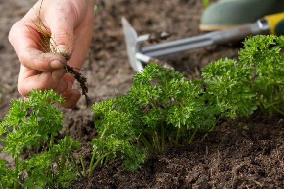 Kaip kovoti su piktžolėmis be chemijos? Pavasaris tam pats tinkamiausias laikas