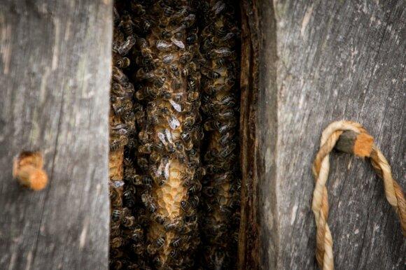 Bitės yra protingesnės nei manyta – naujas tyrimas atskleidė iki šiol nežinomą bičių atminties savybę