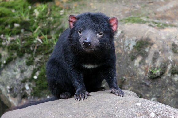 Tasmanijos velnias