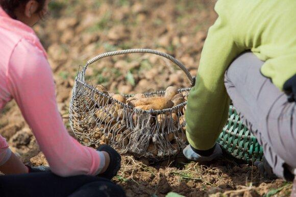 Metai po kalafioro skandalo: kas nutiko daržovių kainoms