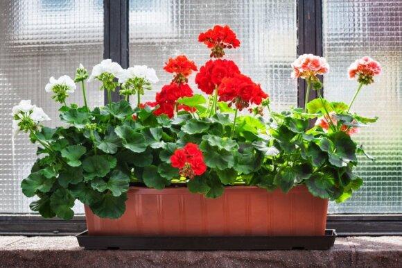 6 kambariniai augalai, kurie turi būti auginami kiekvienuose namuose