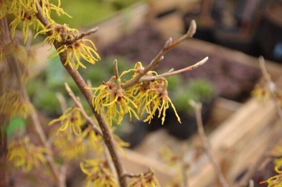 Labai įdomus krūmas, žydintis rudenį, žiemą arba ankstyvą pavasarį - hamamelis.