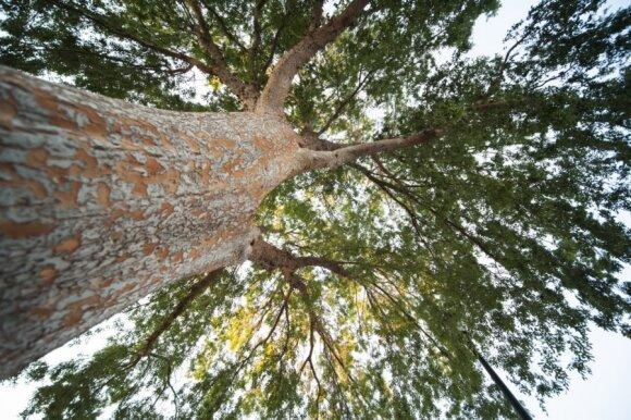 Savavališkai savo kieme nusipjovę medį, galite turėti bėdų: paaiškino, kuriais atvejais reikalingas leidimas