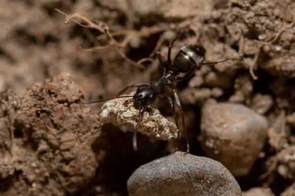 Kaip išvyti skruzdėles iš namų ir sodo: veiksmingos liaudiškos priemonės