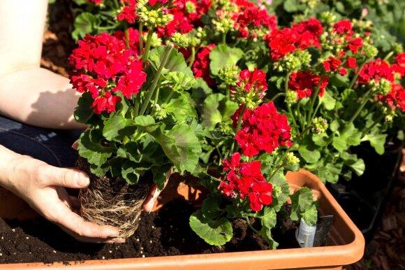 Kambariniai augalai, kurie atneša sėkmę ir gerovę į namus