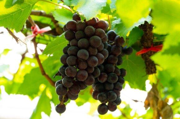 Vynmedžiai: 4 pirmieji darbai sulaukus pavasario