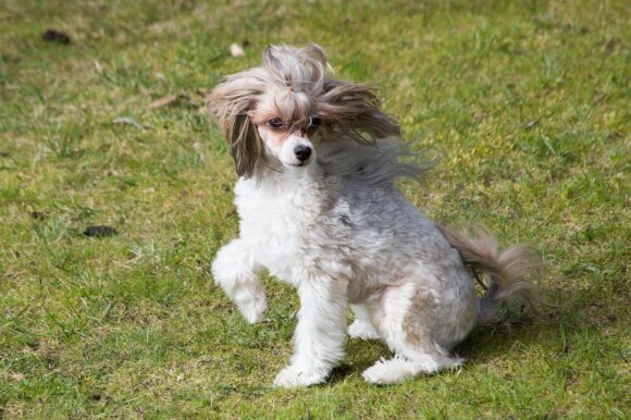 Šuniukai–siurbliukai, kodėl svarbu nepasiduoti gailiam šuns žvilgsniui?