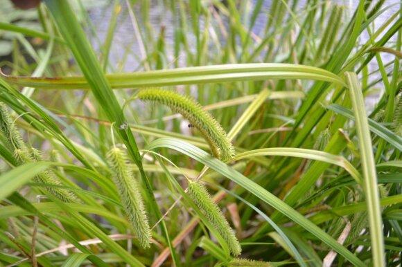 Šiurkščioji viksva (Carex pseudocyperus) savaime auga šalia vandens telkinių, jos puošnios varputės gali papuošti drėgnų vietų gėlynus.