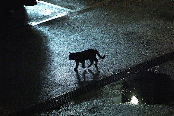 Benamis katinas