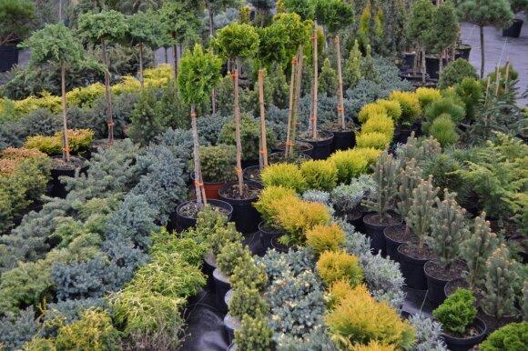 Visus metus žaliuojantys įvairiomis spalvomis spygliuočiai.