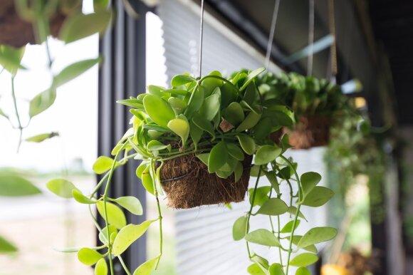 Pakabinami augalai