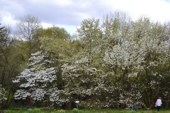 Žydintys japoninių magnolijų medžiai.
