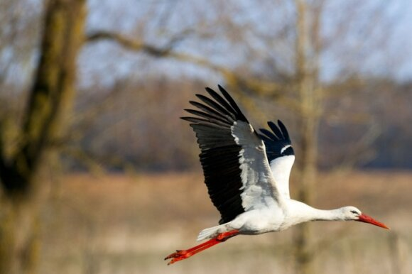 Pirmųjų rudens ženklų pataria ieškoti danguje: ką išduoda sparnus keliantys paukščiai?